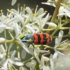 Castiarina crenata (Crenata jewel beetle) at Tuggeranong Hill - 20 Dec 2020 by Owen
