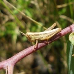 Bermius brachycerus (A grasshopper) at Gibraltar Pines - 20 Dec 2020 by tpreston