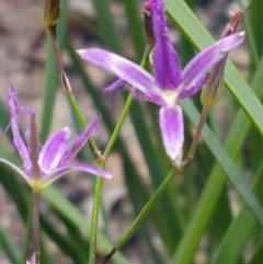 Thysanotus tuberosus subsp. tuberosus (Common Fringe-lily) at Namadgi National Park - 20 Dec 2020 by tpreston