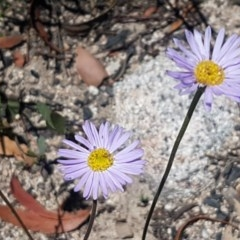 Brachyscome spathulata (Coarse Daisy, Spoon-leaved Daisy) at Namadgi National Park - 20 Dec 2020 by tpreston