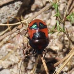 Choerocoris paganus (Ground shield bug) at Theodore, ACT - 20 Dec 2020 by Owen
