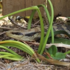 Tiliqua scincoides scincoides (Eastern Blue-tongue) at Kaleen, ACT - 19 Dec 2020 by Tammy