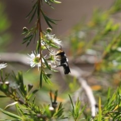 Megachile sp. (several subgenera) (Resin Bees) at Cook, ACT - 19 Dec 2020 by Tammy