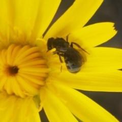 Lasioglossum (Chilalictus) sp. (genus & subgenus) (Halictid bee) at Gibraltar Pines - 20 Dec 2020 by tpreston