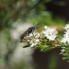 Miltinus sp. (genus) (Unidentified Miltinus mydas fly) at Cook, ACT - 19 Dec 2020 by Tammy