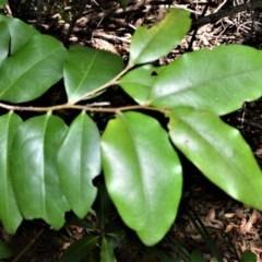 Diospyros pentamera (Myrtle Ebony) at Beecroft Peninsula, NSW - 20 Dec 2020 by plants
