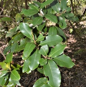 Litsea reticulata (Bolly Gum) at Beecroft Peninsula, NSW by plants