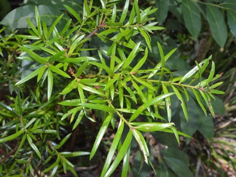 Podocarpus spinulosus at Beecroft Peninsula, NSW - 20 Dec 2020
