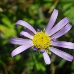 Calotis scabiosifolia var. integrifolia (Rough burr-daisy) at Gibraltar Pines - 20 Dec 2020 by tpreston