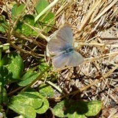 Zizina otis (Common Grass-blue) at Gibraltar Pines - 20 Dec 2020 by tpreston