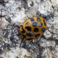 Harmonia conformis (Common Spotted Ladybird) at Gibraltar Pines - 20 Dec 2020 by tpreston