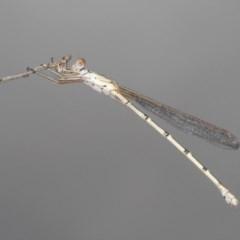 Austrolestes sp. (genus) (Ringtail damselfy) at Black Mountain - 19 Dec 2020 by Harrisi