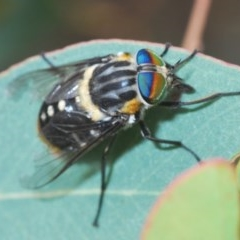 Scaptia (Scaptia) auriflua (A flower-feeding march fly) at Black Mountain - 19 Dec 2020 by Harrisi