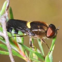 Odontomyia sp. (genus) (Soldier fly) at Black Mountain - 17 Dec 2020 by Harrisi