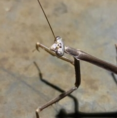 Archimantis latistyla (Stick Mantis, Large Brown Mantis) at Majura, ACT - 20 Dec 2020 by Ghostbat
