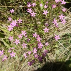 Centaurium erythraea (Common Centaury) at Bass Gardens Park, Griffith - 20 Dec 2020 by SRoss