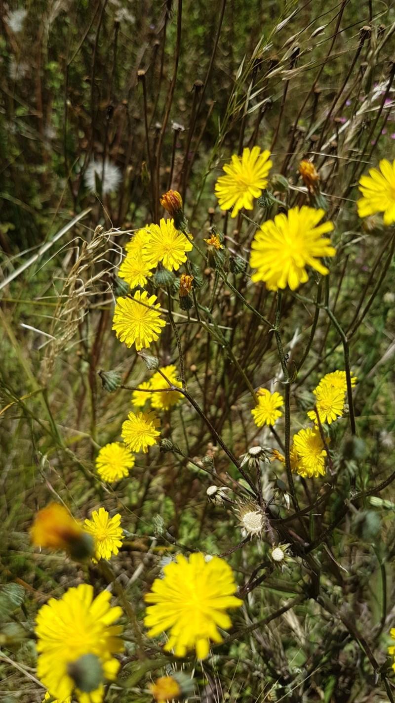 Sonchus oleraceus at Bass Gardens Park, Griffith - 20 Dec 2020
