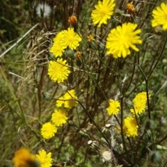 Sonchus oleraceus (Common Sowthistle) at Bass Gardens Park, Griffith - 20 Dec 2020 by SRoss