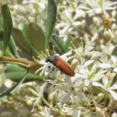 Castiarina erythroptera (Lycid Mimic Jewel Beetle) at Theodore, ACT - 20 Dec 2020 by Owen