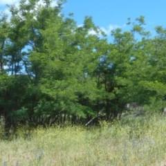 Robinia pseudoacacia (False Acacia or Black Locust) at Namadgi National Park - 12 Dec 2020 by JBrickhill
