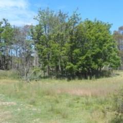 Robinia pseudoacacia (False Acacia or Black Locust) at Namadgi National Park - 17 Dec 2020 by JBrickhill