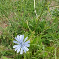 Cichorium intybus (Chicory) at Goulburn, NSW - 20 Dec 2020 by Rixon