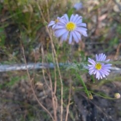 Brachyscome sp. (Cut-leaf daisy) at Greenleigh, NSW - 19 Dec 2020 by LyndalT