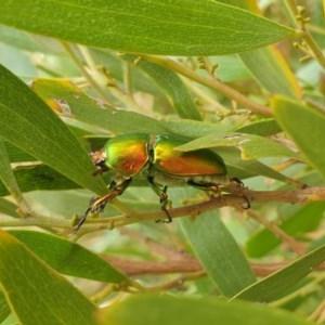 Lamprima aurata at Jerrabomberra Wetlands - 21 Dec 2020
