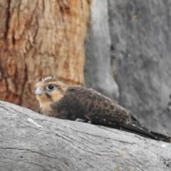 Falco berigora (Brown Falcon) at Kambah, ACT - 21 Dec 2020 by HelenCross