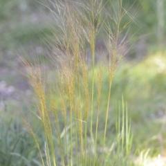 Austrostipa scabra (Corkscrew Grass, Slender Speargrass) at Wamboin, NSW - 20 Oct 2020 by natureguy