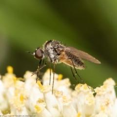 Geron sp. (genus) (Slender Bee Fly) at Black Mountain - 21 Dec 2020 by Roger