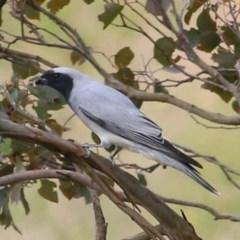 Coracina novaehollandiae (Black-faced Cuckoo-shrike) at Brogo, NSW - 20 Dec 2020 by Kyliegw