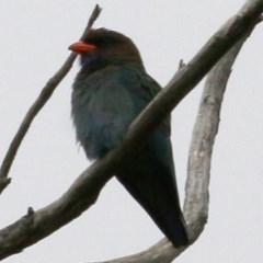 Eurystomus orientalis (Dollarbird) at Brogo, NSW - 20 Dec 2020 by Kyliegw