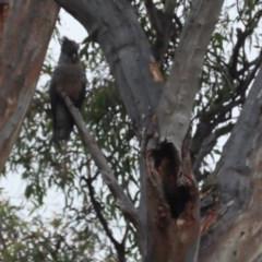 Callocephalon fimbriatum (Gang-gang Cockatoo) at Red Hill, ACT - 19 Dec 2020 by roymcd