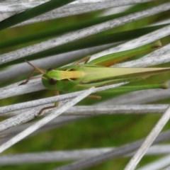 Unidentified Grasshopper / Cricket (TBC) at suppressed - 20 Dec 2020 by Christine