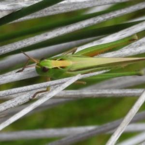 Unidentified Grasshopper / Cricket (TBC) at suppressed by Christine