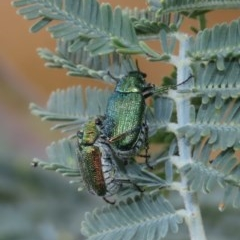 Diphucephala sp. (genus) (Green Scarab Beetle) at Theodore, ACT - 16 Dec 2020 by Owen