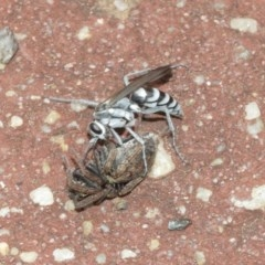 Turneromyia sp. (genus) (Zebra spider wasp) at ANBG - 18 Dec 2020 by TimL
