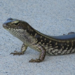 Eulamprus quoyii (Eastern Water-skink) at Culburra Beach, NSW by Christine