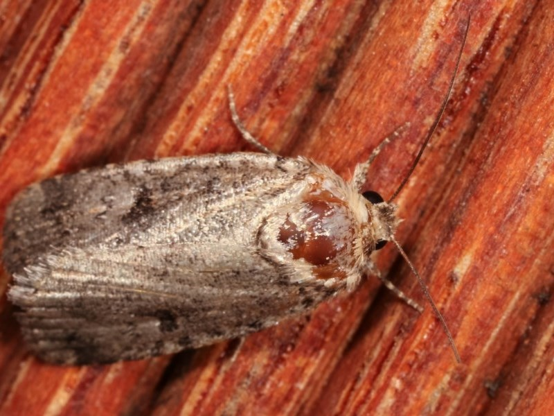 Thoracolopha provisional species at Melba, ACT - 4 Dec 2020