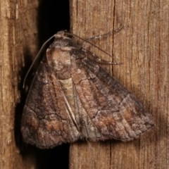 Dysbatus undescribed species (A Line-moth) at Melba, ACT - 4 Dec 2020 by kasiaaus