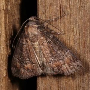 Dysbatus undescribed species at Melba, ACT - 4 Dec 2020