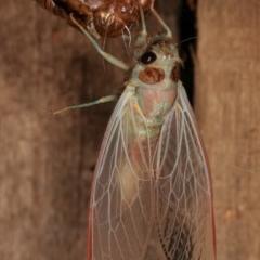 Yoyetta sp. (genus) (Firetail or Ambertail Cicada) at Melba, ACT - 4 Dec 2020 by kasiaaus