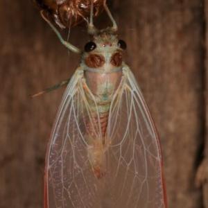Yoyetta sp. (genus) at Melba, ACT - 4 Dec 2020