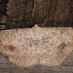 Taxeotis intextata (Looper Moth, Grey Taxeotis) at Melba, ACT - 11 Dec 2020 by kasiaaus
