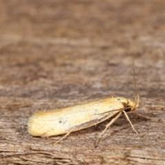 Philobota protecta (A concealer moth) at Melba, ACT - 11 Dec 2020 by kasiaaus