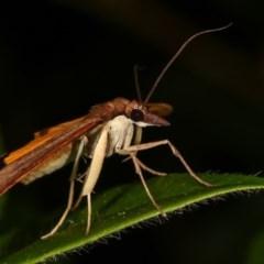 Uresiphita ornithopteralis at Melba, ACT - 11 Dec 2020