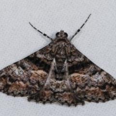 Gastrinodes argoplaca (Cryptic Bark Moth) at Melba, ACT - 11 Dec 2020 by kasiaaus