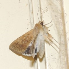 Helicoverpa punctigera (Australian bollworm, Native budworm) at Conder, ACT - 15 Oct 2020 by michaelb