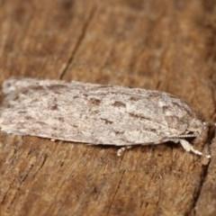 Agriophara undescribed species at Melba, ACT - 11 Dec 2020